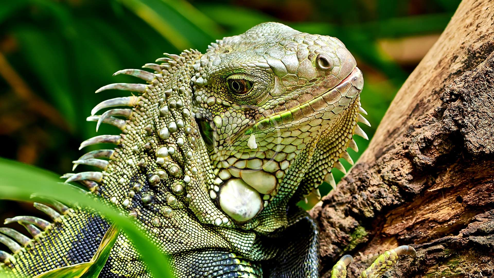 Saving the Beautiful Green Iguan